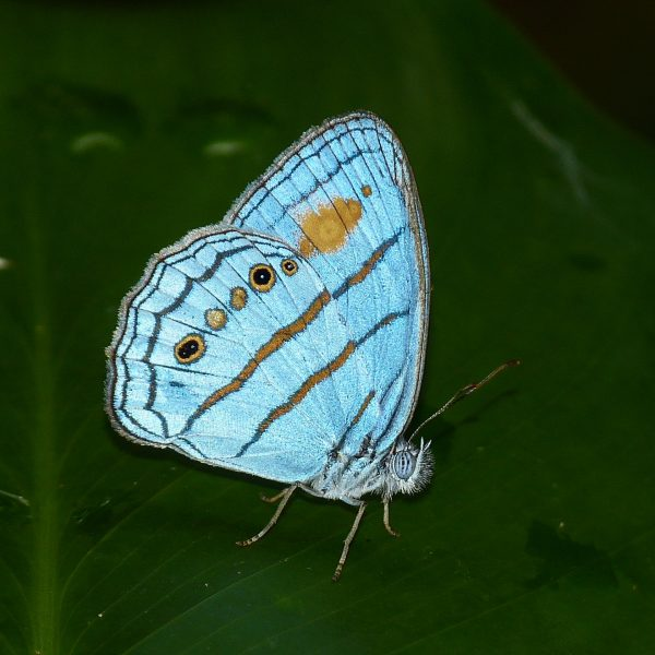 blue butterfly with orange stripes and dots