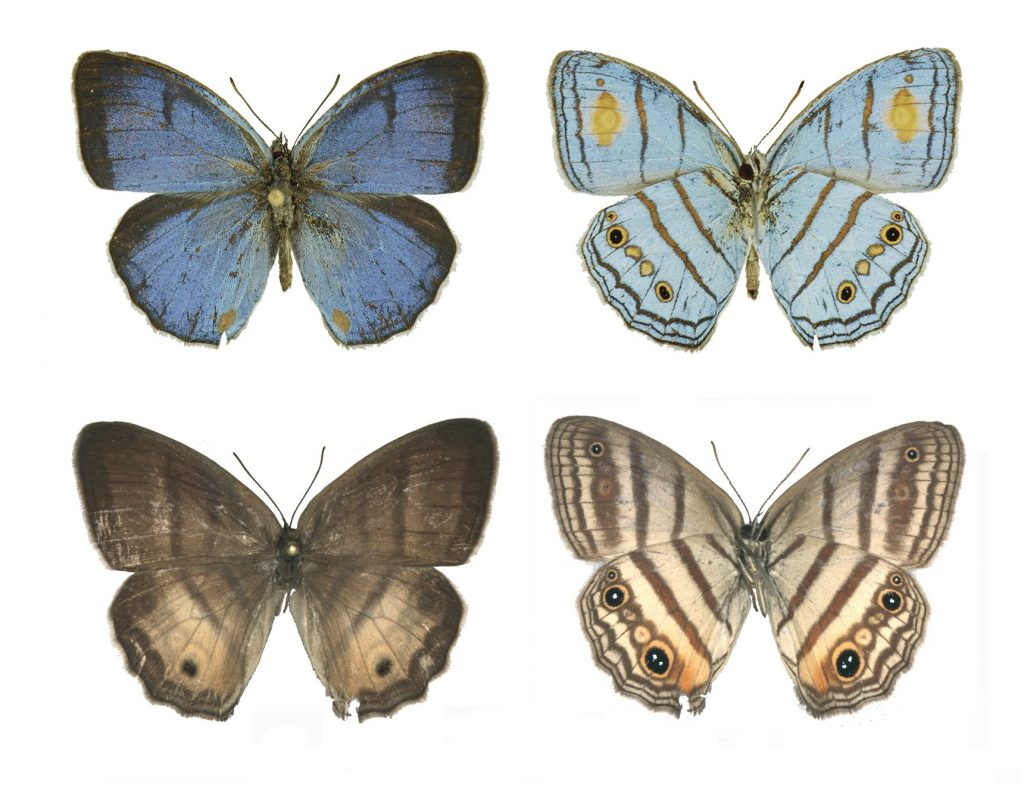 Male and female specimens of Caeruleuptychia helios (sunburst cerulean-satyr) from southeastern Peru. Florida Museum of Natural History photo courtesy of Shinichi Nakahara