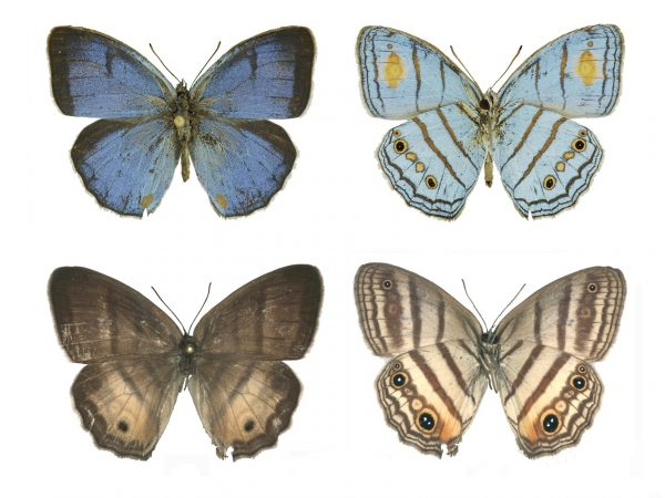 Male and female specimens of Caeruleuptychia helios