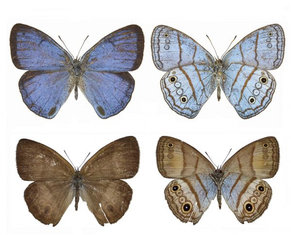 DNA bar coding also revealed a new species: Trembath's cerulean-satyr, or Caeruleuptychia trembathi. The male, top, is also strikingly different than the female. Florida Museum of Natural History photo of male by Keith Willmott and photo of female courtesy of Andrew Neild