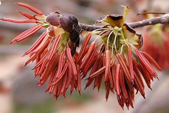 Eastern China is both a museum and cradle for woody plants, such as this Euptelea pleiosperma. Photo courtesy of Zhi-Duan Chen