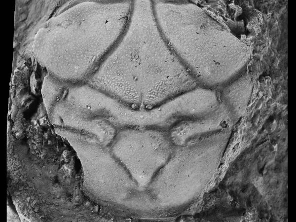 An image of a spider crab fossil