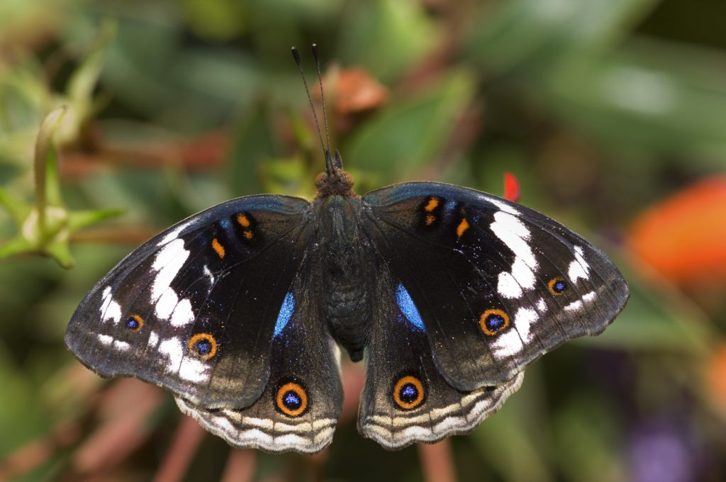 blue spotted pansy butterfly