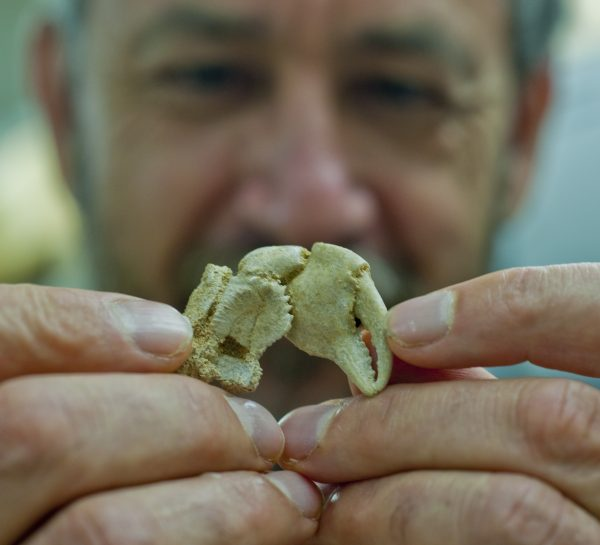 Gustav Paulay examines a fossil crab claw
