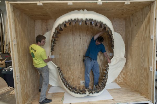 Megalodon shark jaw in crate