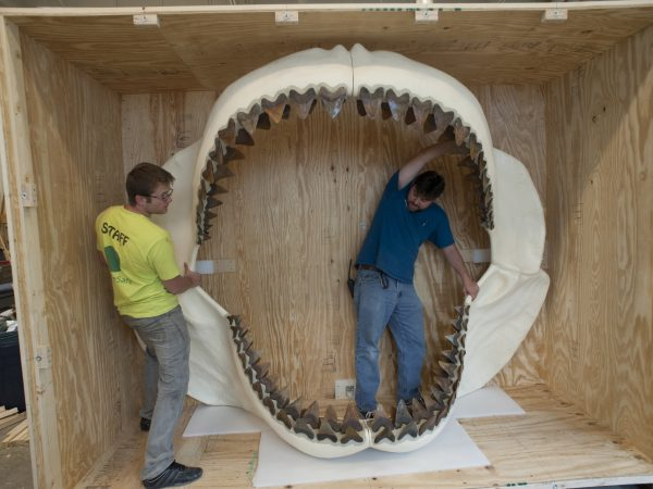 Two museum staff members stand with a megalodon shark jaw in crate
