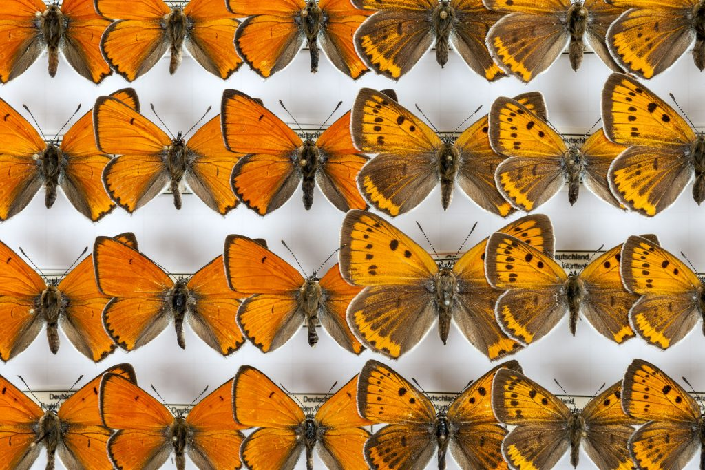 rows of pinned orange butterfly specimens