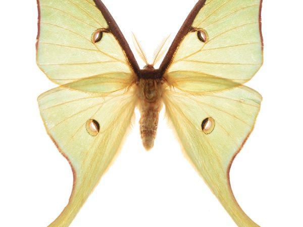 Luna moth on white background