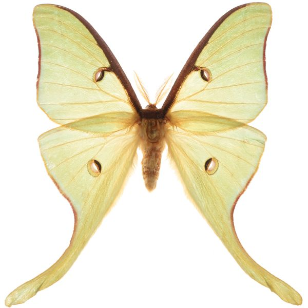Luna moths, Actias luna