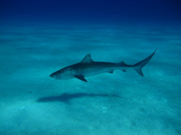 A shark with a long, pointed tailfin swims along the ocean bottom