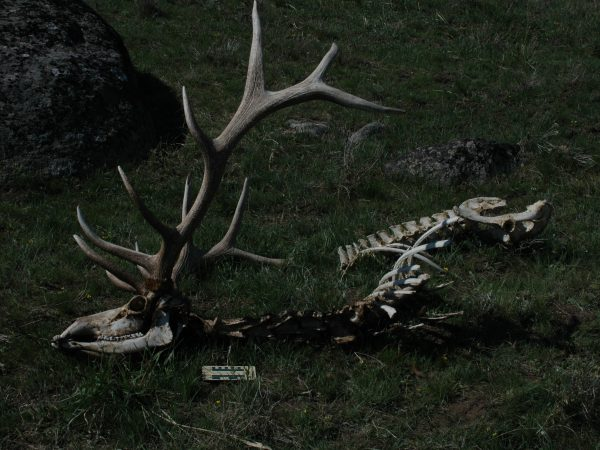 A carcass in a grassy clearing