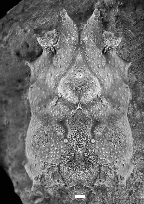 Cretamaja granulata