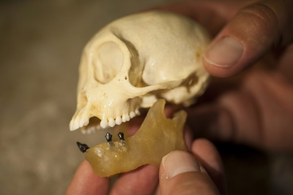 capuchin skull and fossil teeth
