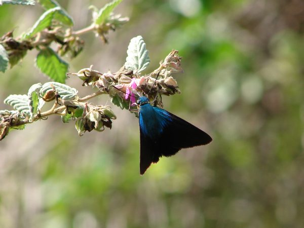 A blue and black butterfly clinging to a plant