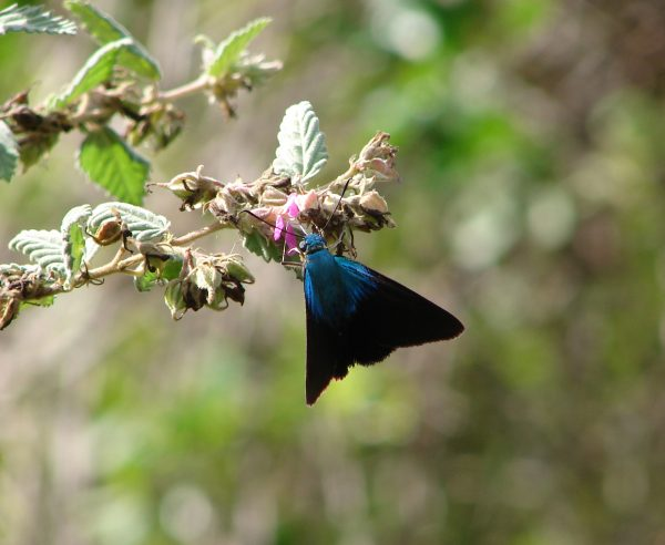 blue skipper butterfly
