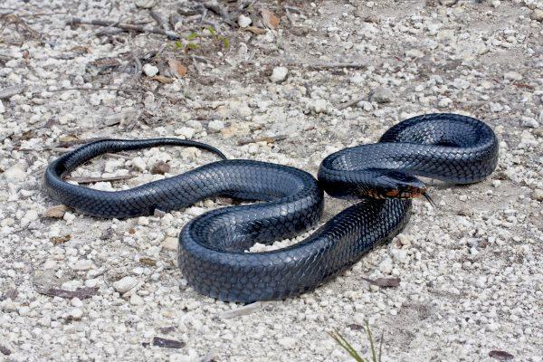 Gulf Indigo Snake