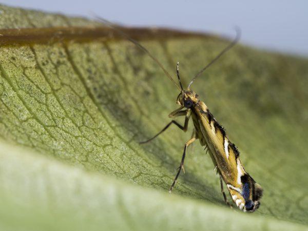 Philodoria hibiscella moth