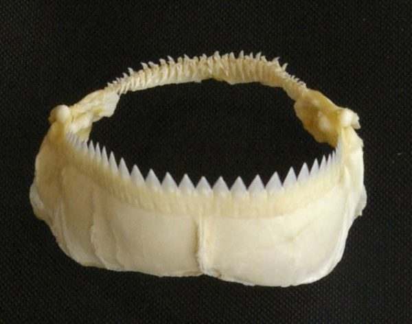 cookiecutter shark jaw