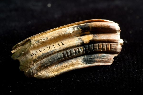 fossilized horse (Equus) tooth
