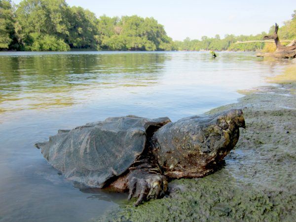 Alligator snapping turtle on river bank