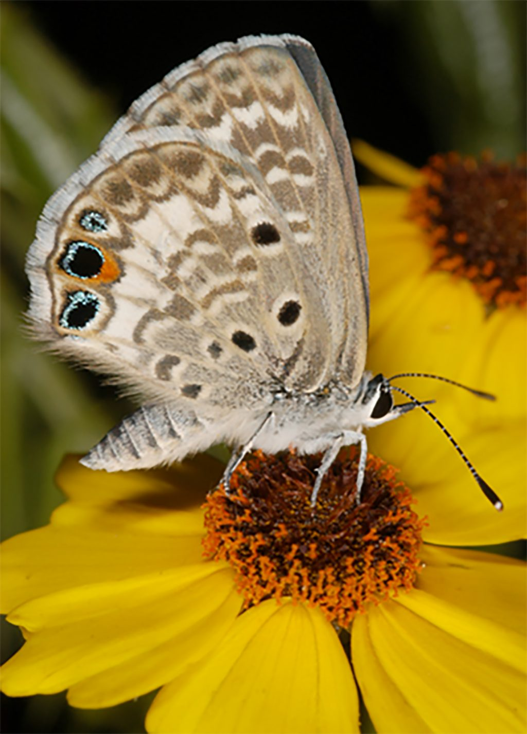 An adult Miami blue butterfly.