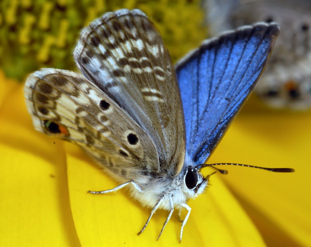 A male Miami blue butterfly