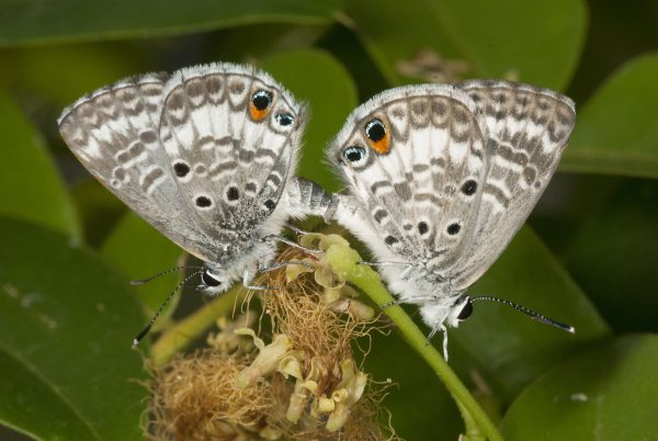 A pair of mating Miami blue butterflies. Florida Museum of Natural History photo by Jaret Daniels