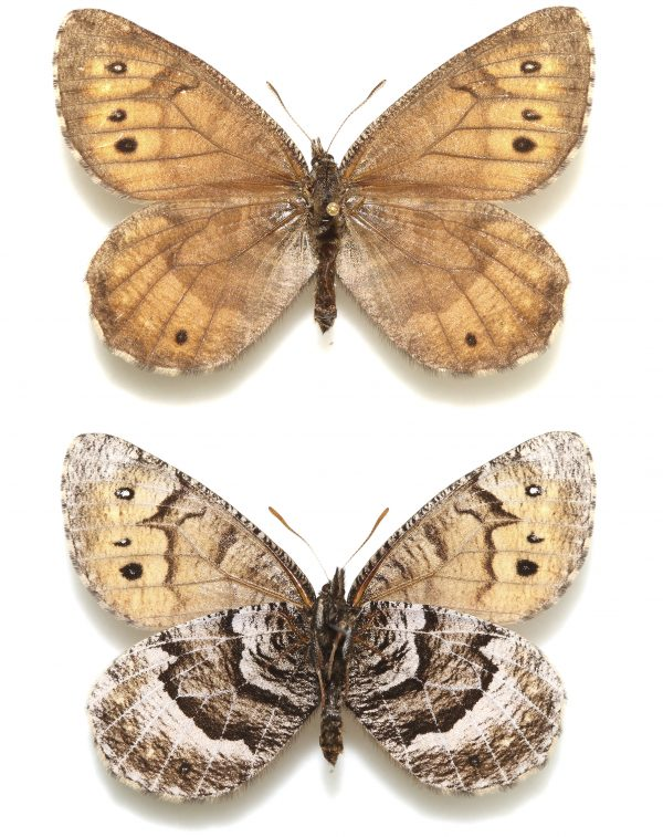Tanana Arctic butterfly, male and female
