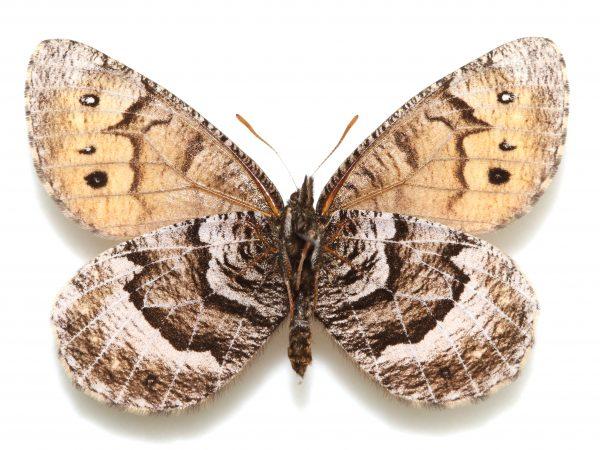 Tanana Arctic butterfly
