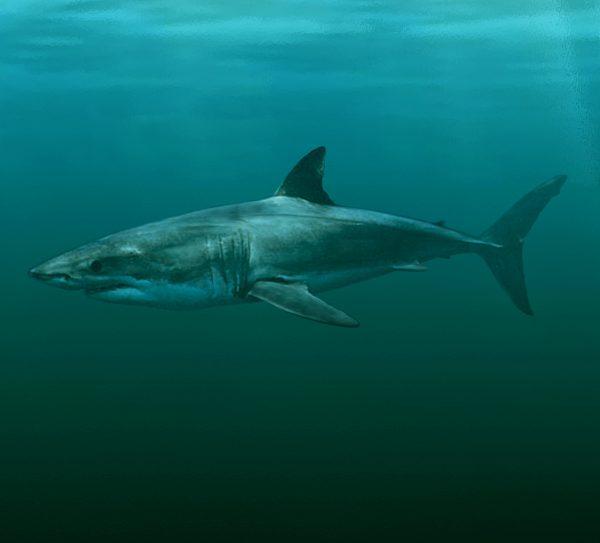 shark rendering