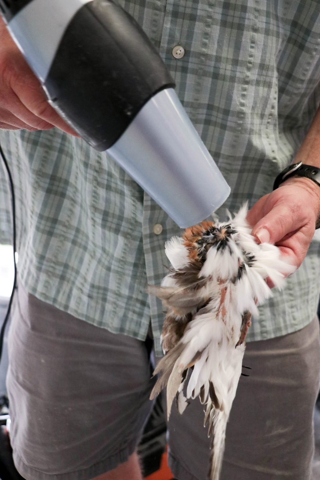 blow drying the bird's feathers