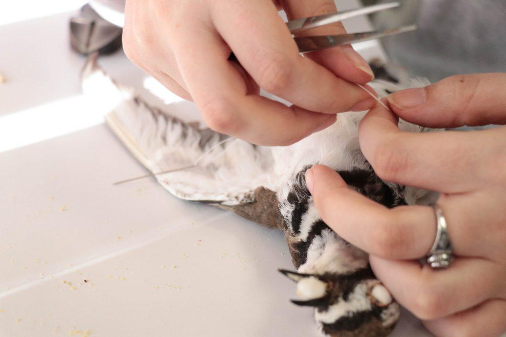 sewing up bird specimen