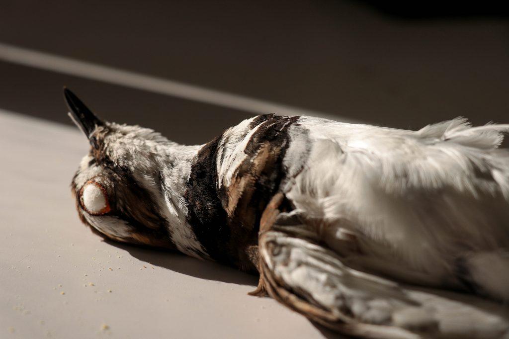 finished killdeer specimen