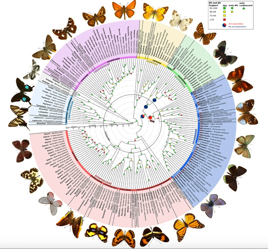 circular graphic showing relationships between butterfly families