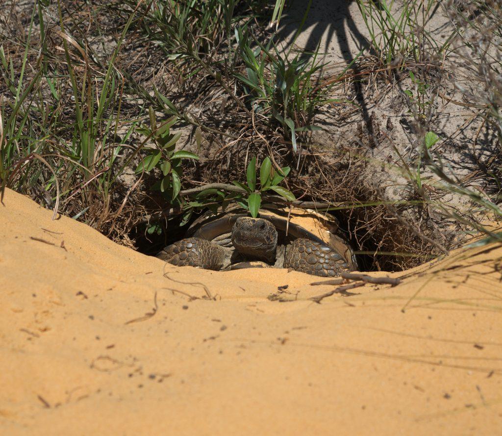 gopher tortoise in burrow