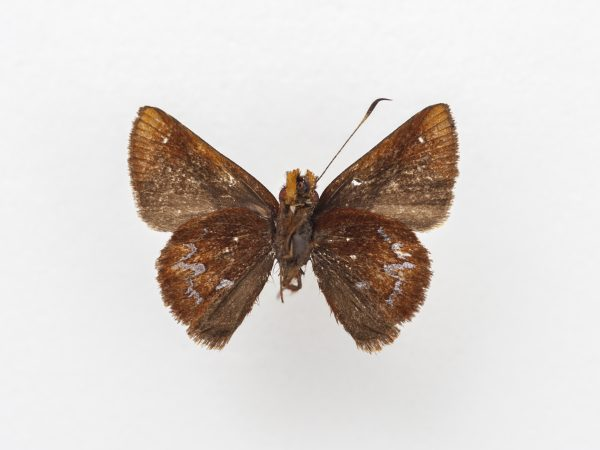 A small, brown butterfly specimen