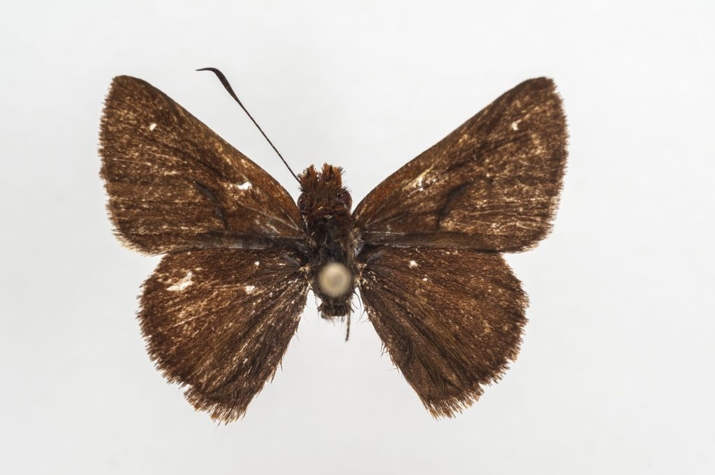 A close-up of a brown butterfly specimen with slight white markings on its wings