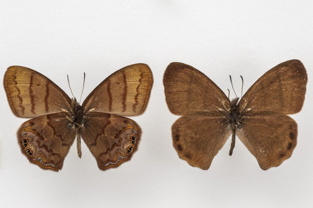 Two brown butterflies posed next to each other