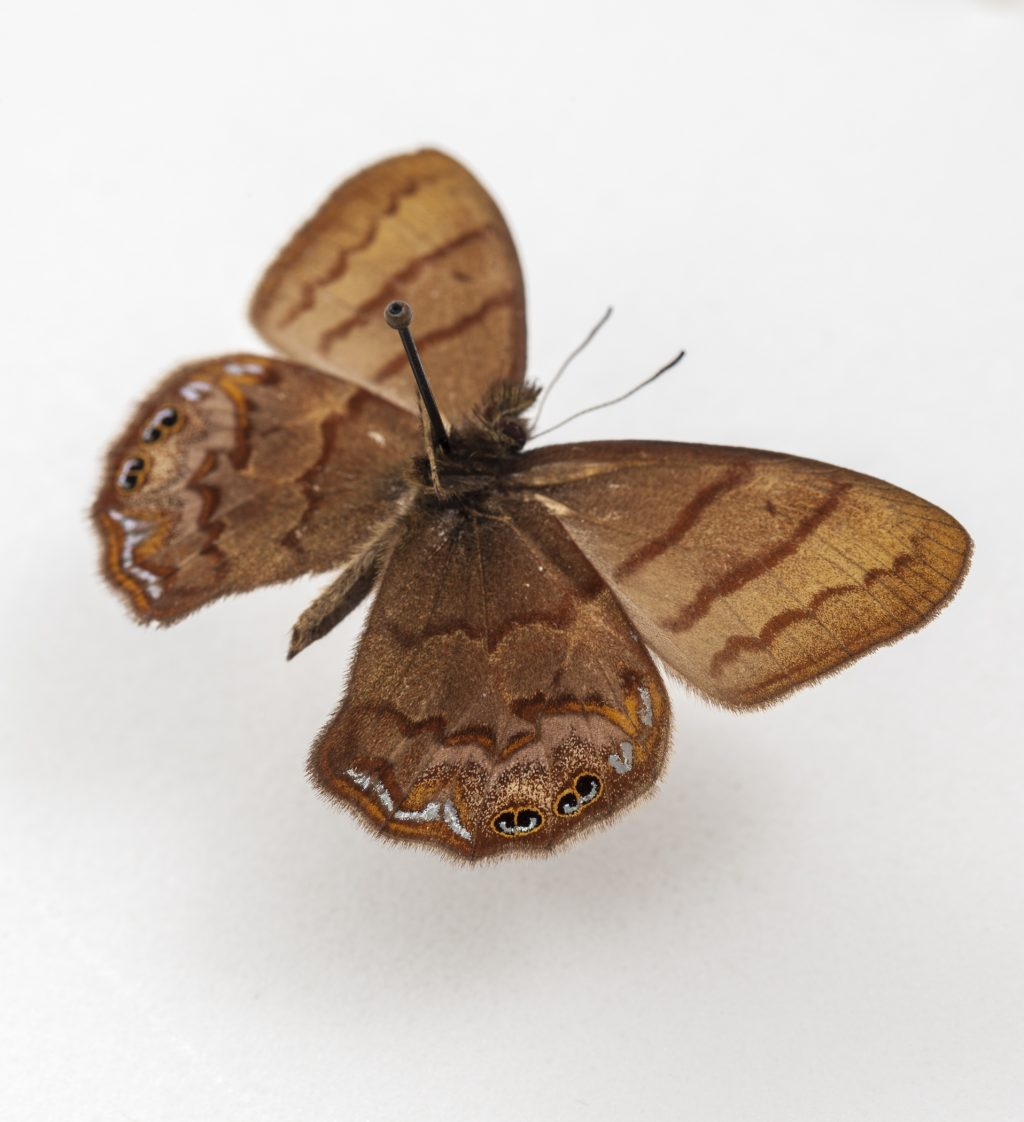 A close view of a small brown butterfly with patterned wings