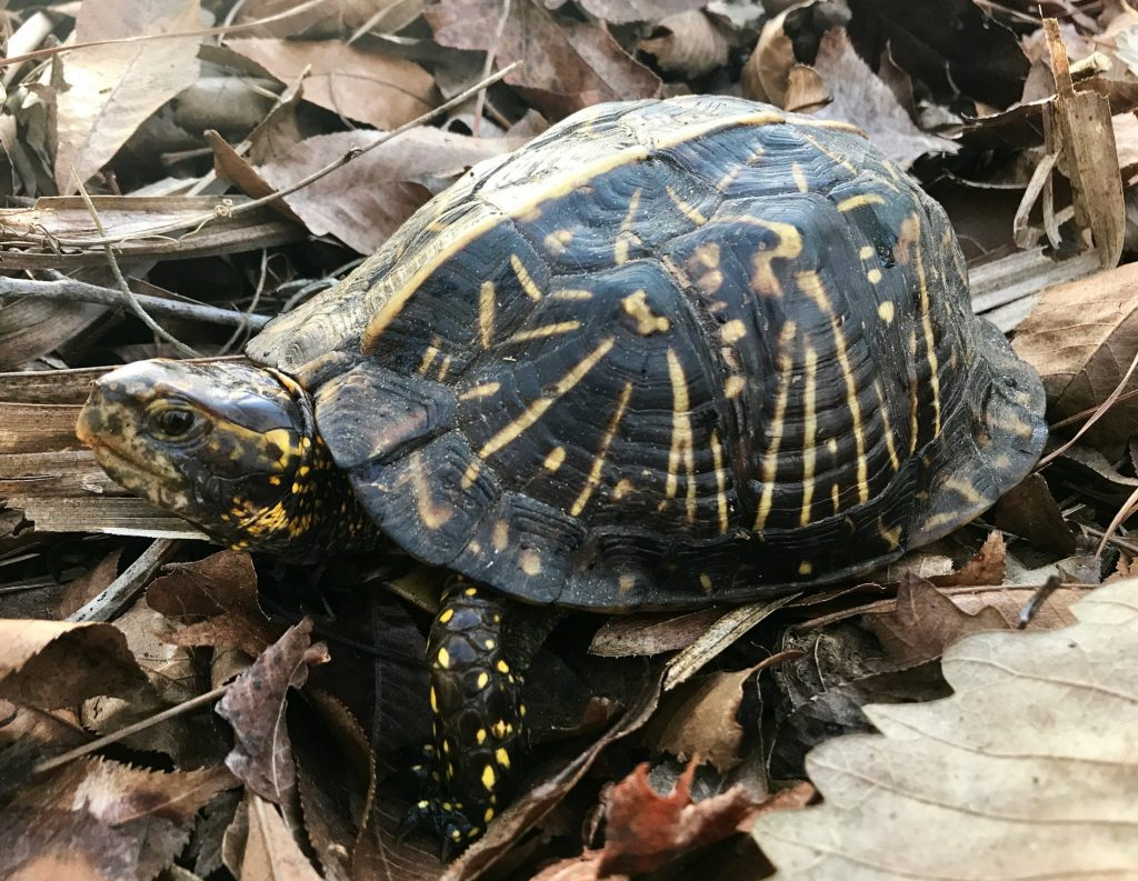 A photo of a turtle with a yellow-patterned walking through leaves