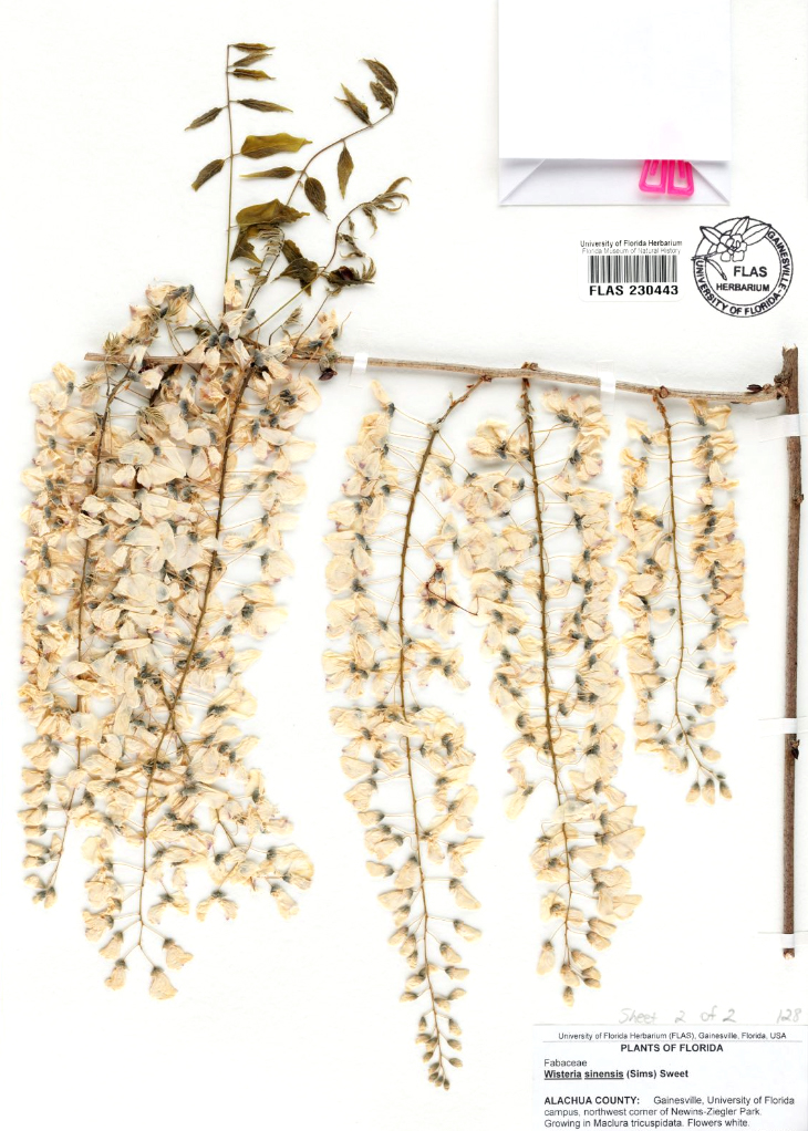 A herbarium specimen with white flowers hanging from a brown branch