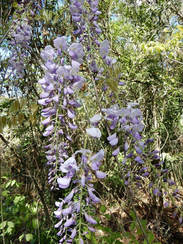 Chinese wisteria flower clusters