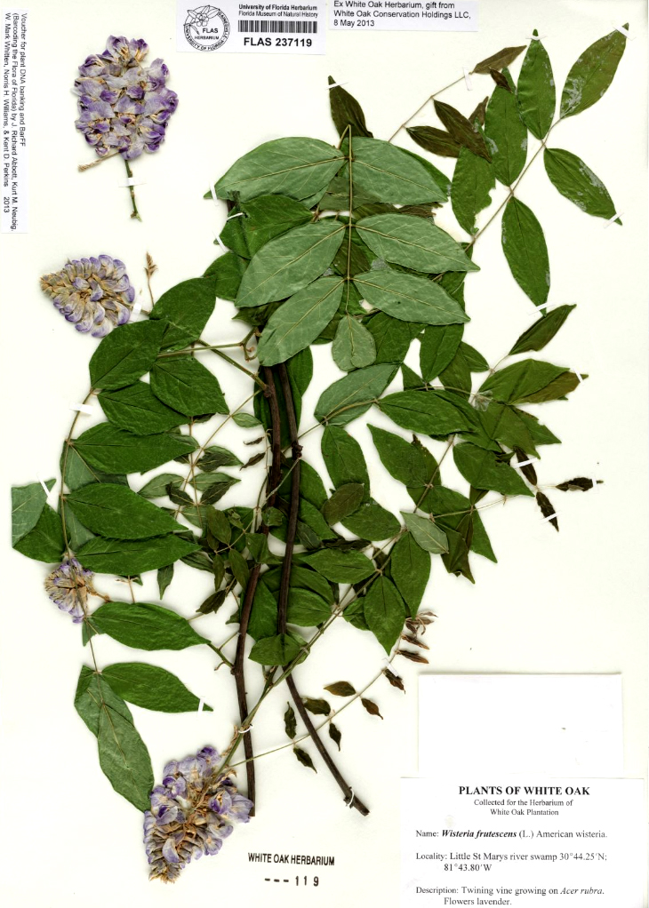 An American wisteria plant dried and preserved in the Florida Museum herbarium