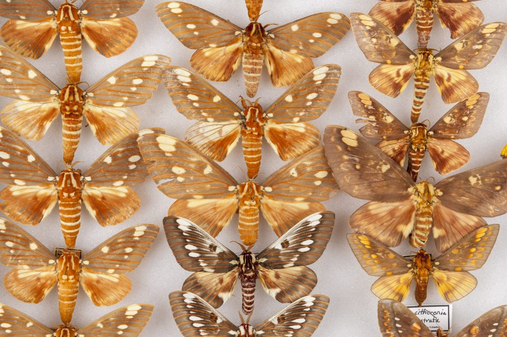 closeup of pinned moth specimens
