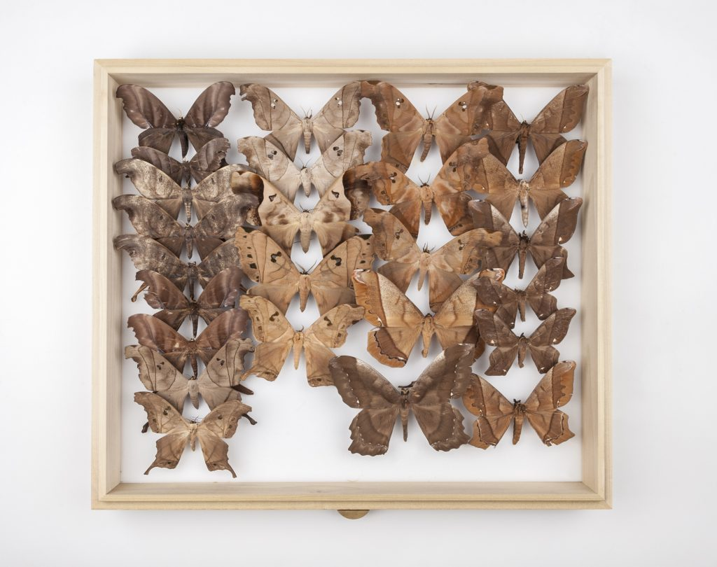 Brown, preserved moths displayed in a drawer