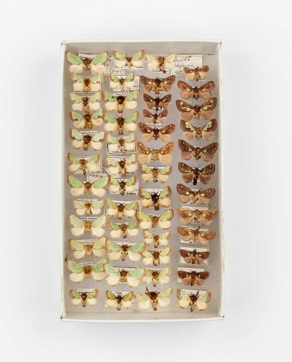 Rows of moth specimens displayed in a box