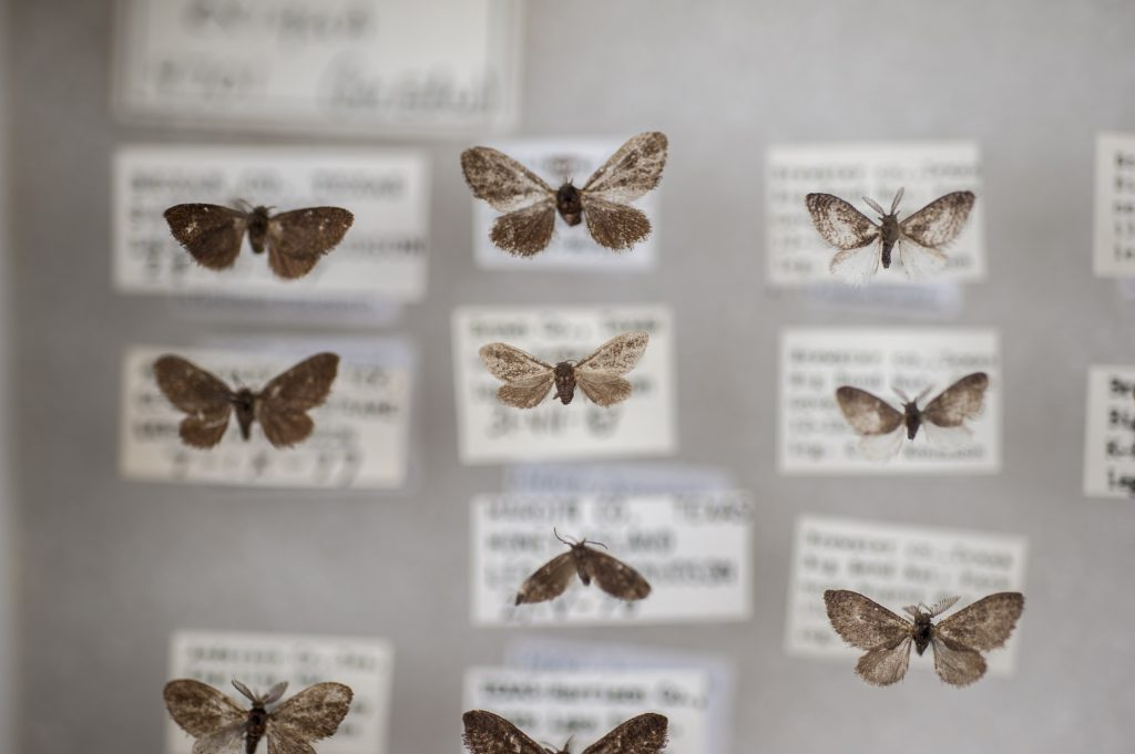 Small, brown moths with their collection data
