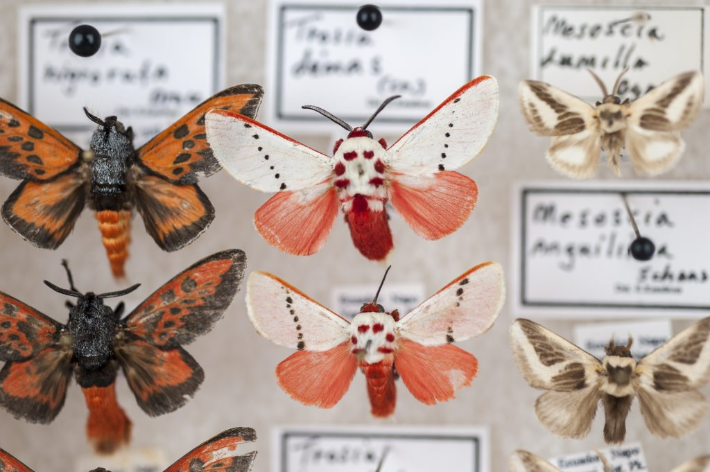 Red and pink moth specimens displayed between two other species