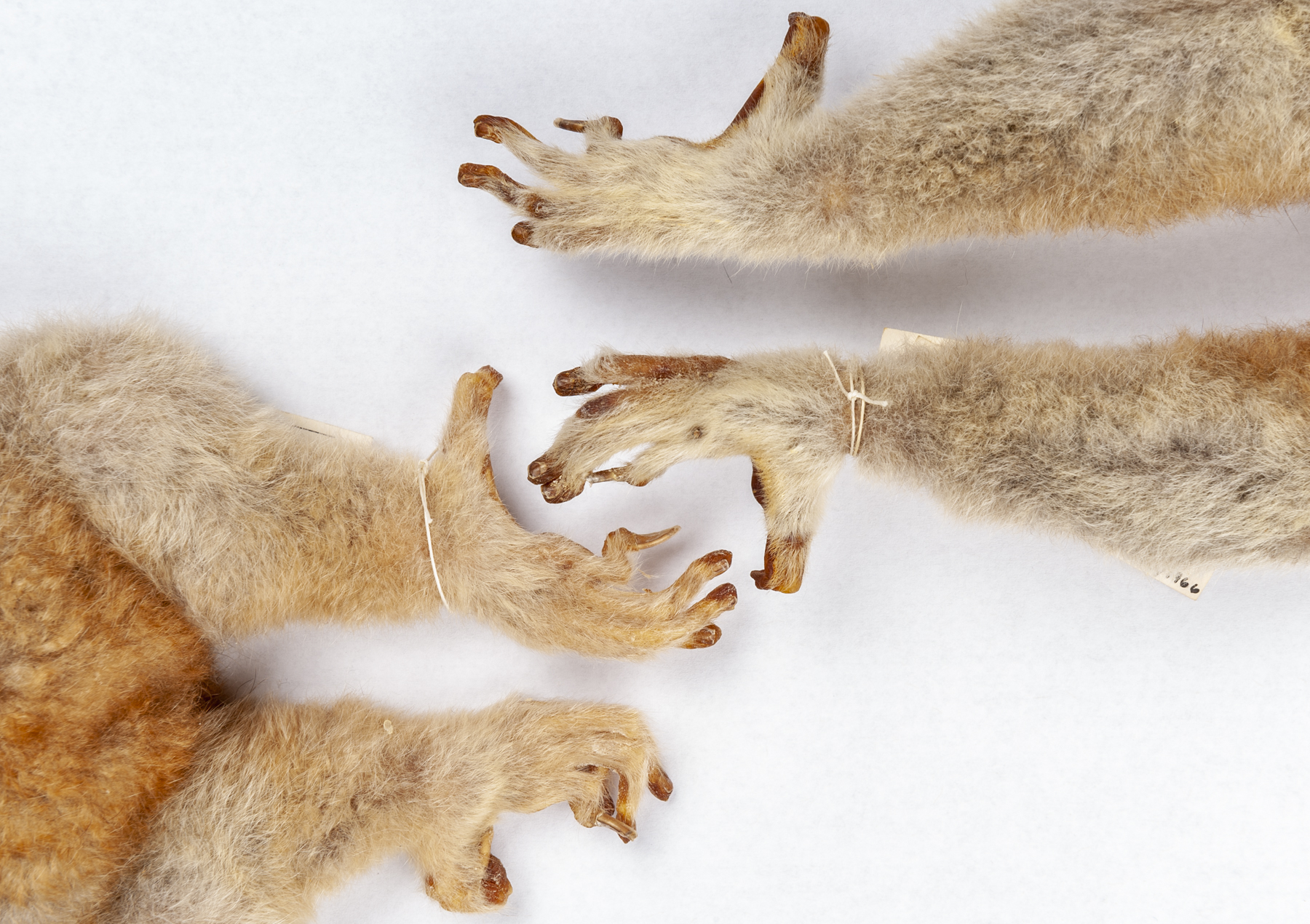 Fossils Show Ancient Primates Had Grooming Claws As Well As Nails Florida Museum Science
