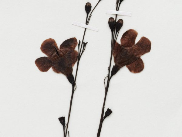 herbarium flower specimen